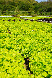 Hidroponic plant of Lettuce. In countryside - Thailand Royalty Free Stock Photos