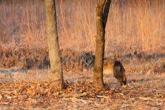 Hids del coyote detrás de un árbol en un praire Fotografía de archivo
