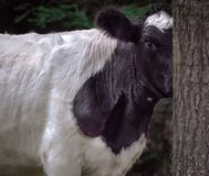 Hie and Seek Cow Peeking around tree in woods royalty free stock photos