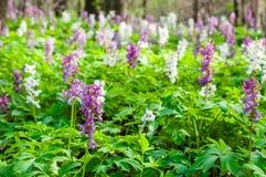 Hieb im Wald gefüllt mit Hyazinthen Stockfotos