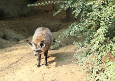 Hieb-ohriger Fuchs Stockbild