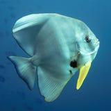 Hiebfische Stockbild