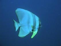 Hiebfische Lizenzfreie Stockfotos