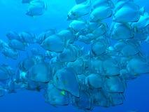 Hiebfische Lizenzfreies Stockfoto