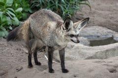 Hiebohriger Fox Lizenzfreie Stockbilder