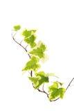 Hiedra amarilla verde foto de archivo