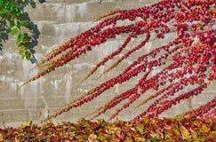 Hiedra colorida Foto de archivo libre de regalías