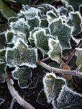 Hiedra congelada Foto de archivo