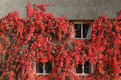 Hiedra de Boston roja en otoño foto de archivo