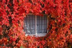 Hiedra de Boston roja en otoño imagen de archivo