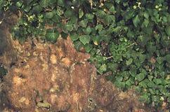 Hiedra de la roca abstracta y de la planta verde Imágenes de archivo libres de regalías