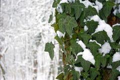 Hiedra del invierno foto de archivo libre de regalías