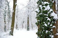 Hiedra del invierno imagen de archivo
