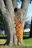 Hiedra del otoño Fotografía de archivo libre de regalías