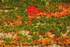 Hiedra del otoño en la universidad de Aarhus, Dinamarca Fotos de archivo