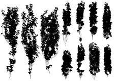 Hiedra del vector en un fondo blanco Fotos de archivo