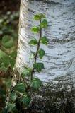 Hiedra en abedul en el bosque Imagenes de archivo