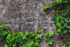 Hiedra en el brickwall Imagenes de archivo