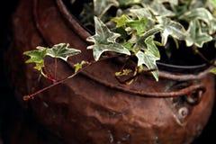 Hiedra en el compartimiento de cobre Fotografía de archivo libre de regalías