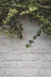 Hiedra en la pared de ladrillo blanca Fotografía de archivo libre de regalías