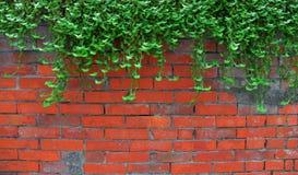 Hiedra en la pared de ladrillo vieja Fotografía de archivo libre de regalías