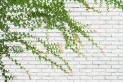 Hiedra en la pared de ladrillos para el fondo Foto de archivo