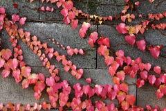 Hiedra en la pared de piedra Foto de archivo