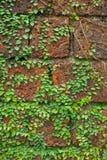 Hiedra en la pared de piedra de la laterita Foto de archivo libre de regalías