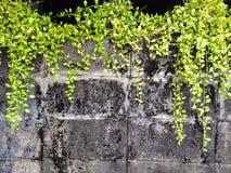 Hiedra en la pared vieja Fotografía de archivo libre de regalías
