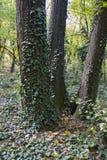Hiedra en los árboles Imágenes de archivo libres de regalías