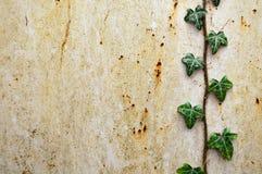 Hiedra en Rusty Background Fotografía de archivo libre de regalías