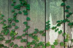 Hiedra en tablones de madera viejos Foto de archivo