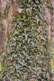 Hiedra en tronco de árbol Fotos de archivo libres de regalías