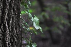 Hiedra en un árbol Fotos de archivo