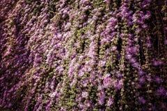 Hiedra floreciente de la cascada Foto de archivo