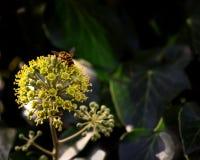 Hiedra floreciente - un fenómeno raro, allí es espacio libre Foto de archivo libre de regalías