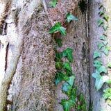 hiedra imperecedera en un tronco de árbol Imagen de archivo