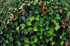 Hiedra inglesa verde Fotos de archivo libres de regalías