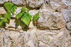 Hiedra inglesa verde Imagenes de archivo