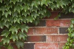 Hiedra que crece en la pared de ladrillo Fotos de archivo libres de regalías