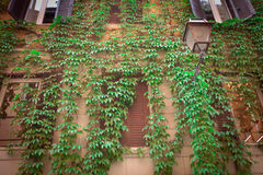 Hiedra que se arrastra encima del edificio viejo Fotografía de archivo