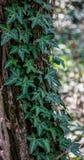 Hiedra rizada sobre tronco de árbol fotos de archivo libres de regalías