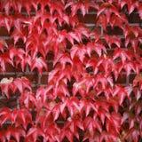 Hiedra roja Fotos de archivo libres de regalías