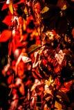 Hiedra roja Fotos de archivo