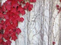 Hiedra roja en la pared gris Fotos de archivo