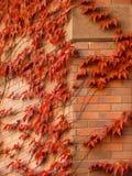 Hiedra roja en una pared de ladrillo Imagenes de archivo