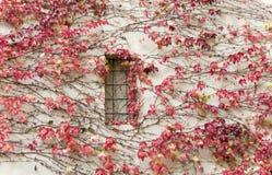 Hiedra roja en una pared. Un fondo horizontalmente Foto de archivo libre de regalías