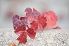 Hiedra roja que crece sobre la repisa del cemento Imágenes de archivo libres de regalías