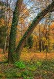 Hiedra roja y verde en árboles Foto de archivo libre de regalías