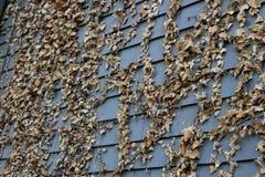 Hiedra seca en el apartadero de madera oscuro Fotografía de archivo libre de regalías